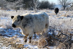 Wild cow in Danish cold nature Royalty Free Stock Photography
