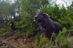 Wild cow in fens, Annapurna national park. Nepal Stock Photos