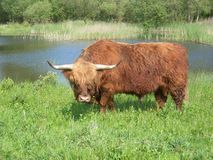 Wild cow. Grazing in meadow Royalty Free Stock Image