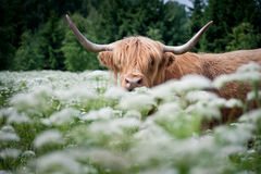 Wild cow in green meadow. Recreated Aurochs in green meadow Royalty Free Stock Photography