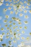 Wild cow parsley at the blue sky Stock Photo