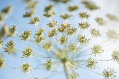 Wild cow parsley close up detail with blue sky and clouds on the Stock Photography