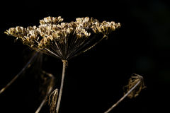 Wild cow parsnip in Alaska. Dried, autumn view of flower of perennial herb, cow parsnip, also named Eskimo Celery and Indian Rhubarb, that grows wild in Alaska Stock Photo