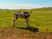 Wild cow. A wild cow in South Dakota Stock Image