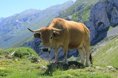 Free wild cow in high mountain. Wild cow walks freely through meadows in the high mountains of the Pyrenees. The sun reaffirms its silhouette Stock Images