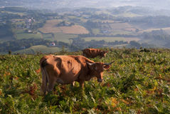 Wild cows in Basque Country, France Royalty Free Stock Photos
