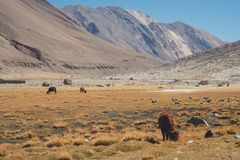 A wild cows eating grasses in a field with mountains and blue sky background in Ladakh. India Royalty Free Stock Photo
