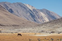 A wild cows eating grasses in a field with mountains and blue sky background in Ladakh. India Royalty Free Stock Images