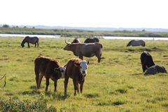 Wild cows grazing and eating grass in the meadow by the Engure lake Stock Photos