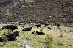 Wild cows. Grazing in the Huascaran National Park, south america peru Royalty Free Stock Photography
