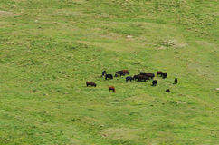 Wild cows herd Stock Photography