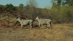 Wild cows in the outback running. A wide tracking shot of two white cows in the outback running away from the camera past some dried grass and towards a hill stock video