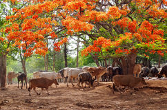 Wild cows in Pattaya zoo Stock Photography