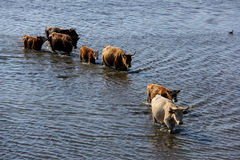 Wild cows swiming in Engure lake, Latvia Royalty Free Stock Photo