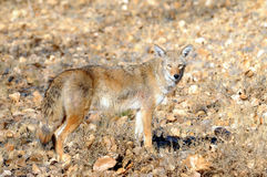 Wild coyote. A wild coyote in an open field.  Species:  Canis latrans Stock Images