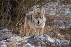 Wild coyote 2 Royalty Free Stock Photos