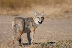 Wild Coyote. A wild coyote looking back at the camera.  Shot in the Alberta badlands near Medicine Hat, Alberta, Canada Royalty Free Stock Photo