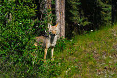 Wild Coyote Stock Photo