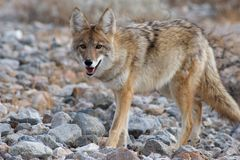Wild coyote 3 Royalty Free Stock Photography