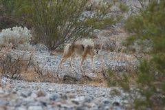 Wild coyote 6 Royalty Free Stock Photo