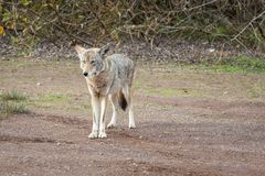 Wild Coyote Begging For Food. Wild Coyote emerges from the undergrowth looking for a hand-out, curious tourists watch attentively stock photography