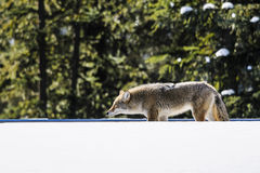 Wild Coyote Royalty Free Stock Image