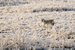 Wild Coyote Royalty Free Stock Photography