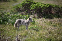 Wild Coyote hunting in a roadside meadow Royalty Free Stock Image