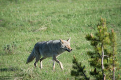 Wild Coyote. A lone coyote in Yellowstone National Park. I took many pictures as the coyote moved closer to where I was standing Royalty Free Stock Images