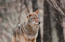 Wild coyote in nature Royalty Free Stock Image