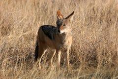 Wild Coyote Stock Photo