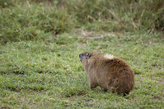 Wild coypu Royalty Free Stock Image
