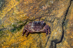 Wild crab on the rocks under the water Royalty Free Stock Photography