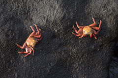 Wild crabs on sea rock next to the water Stock Image