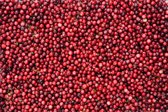 Wild cranberries Royalty Free Stock Photo