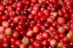 Wild cranberries Stock Image