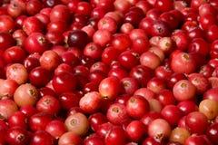 Wild cranberries Stock Image