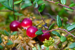 Wild cranberries growing in bog Royalty Free Stock Images
