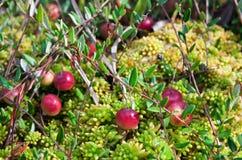 Wild cranberries growing in bog Stock Photo