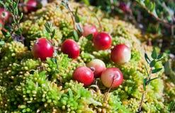 Wild cranberries growing in bog Stock Image