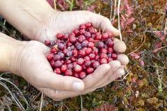 Wild cranberries in the hands stock photos