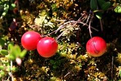 Wild Cranberries (Vaccinium oxycoccus) Stock Image