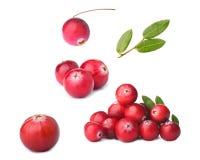 wild cranberry Royaltyfria Foton