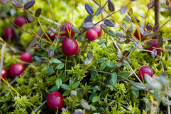 Wild cranberry Royalty Free Stock Photography