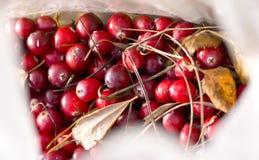 wild cranberry royaltyfri foto