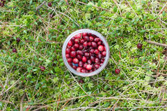 wild cranberry arkivfoton