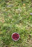 wild cranberry royaltyfri bild