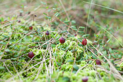 Wild Cranberry royalty free stock photo