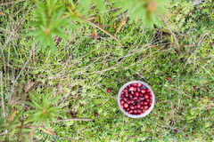 Wild Cranberry royalty free stock image