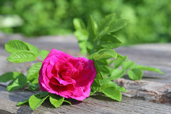 Wild crimson rose with green leaves Stock Image